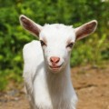 goat-1378453415