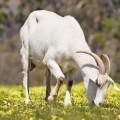 goat-5602-1379036887