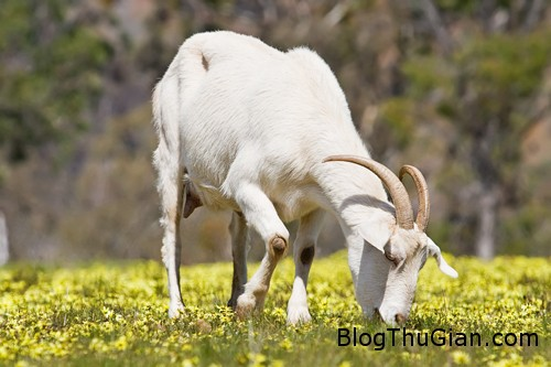 goat 5602 1379036887 Ngồi tù vì tội làm bậy với dê