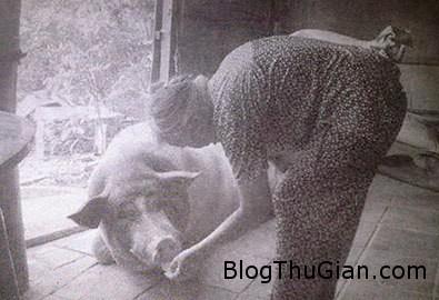 heo1 928567 1368310898 600x0 Ly kỳ chuyện lợn thành tinh báo oán chủ lò mổ ở Sóc Trăng