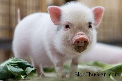 pig 583502 1368220490 500x0 Giải thưởng cho cuộc đua xe đạp là một chú lợn
