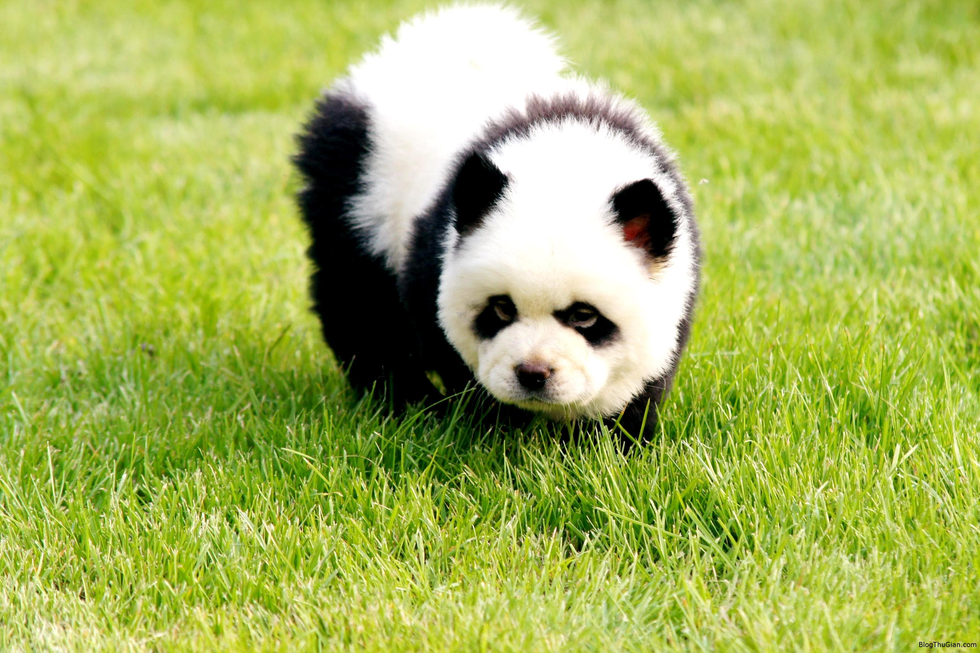 trung quoc xuat hien gau cho Gấu chó xuất hiện ở Trung Quốc