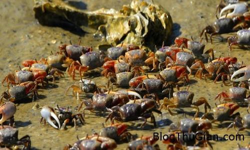 VNE Crab 8565 1448101327 Triệu phú giấu mặt thuê mua 5 tấn cua để thả sông