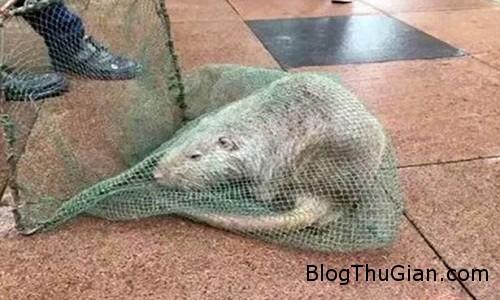 VNE Rat 6397 1449296212 Bắt sống con chuột dài một mét có móng vuốt trong sân trường