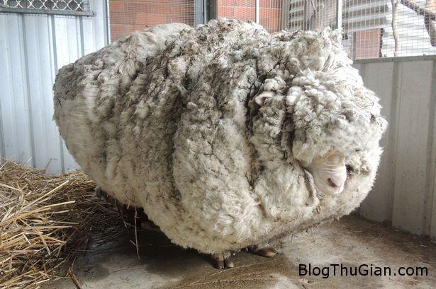 chu cuu mang bo long day nhat the gioi Chú cừu có bộ lông nặng gấp đôi cơ thể
