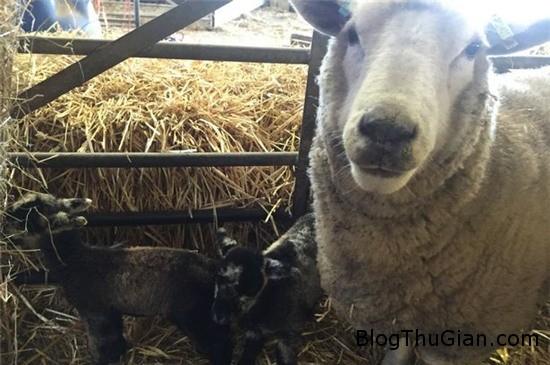 cuu cai de 2 con du van con trong trang 1 Cừu đẻ sinh đôi dù vẫn còn trinh