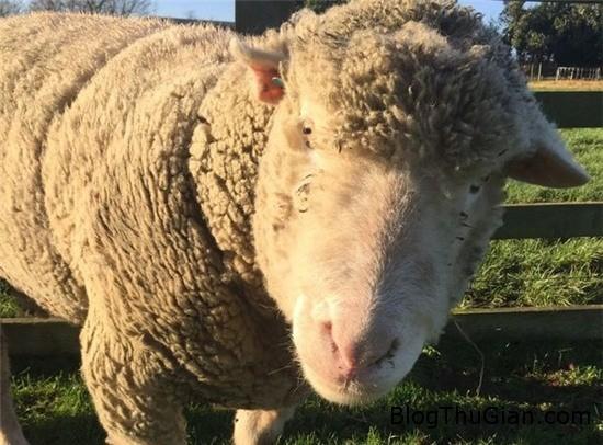 cuu cai de 2 con du van con trong trang 2 Cừu đẻ sinh đôi dù vẫn còn trinh