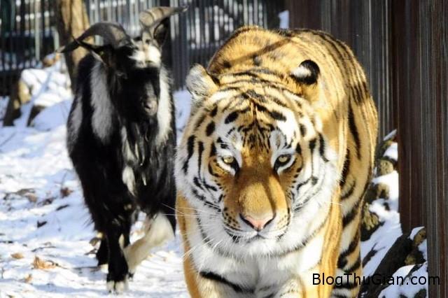 ho lam ban voi con moi Khi hổ và dê là đôi bạn thân