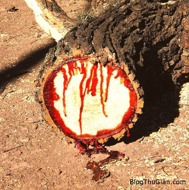 1452503324 a1 Loài cây chảy ra máu đầy kinh hãi ở châu Phi