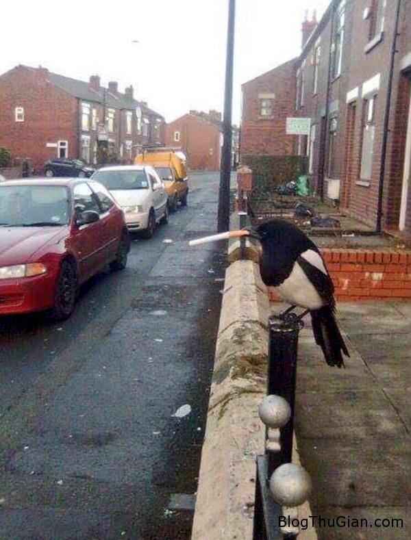 160126lcchim1 1453796951261 Ngạc nhiên với hình ảnh đại ca chim đứng hút thuốc lá trên phố