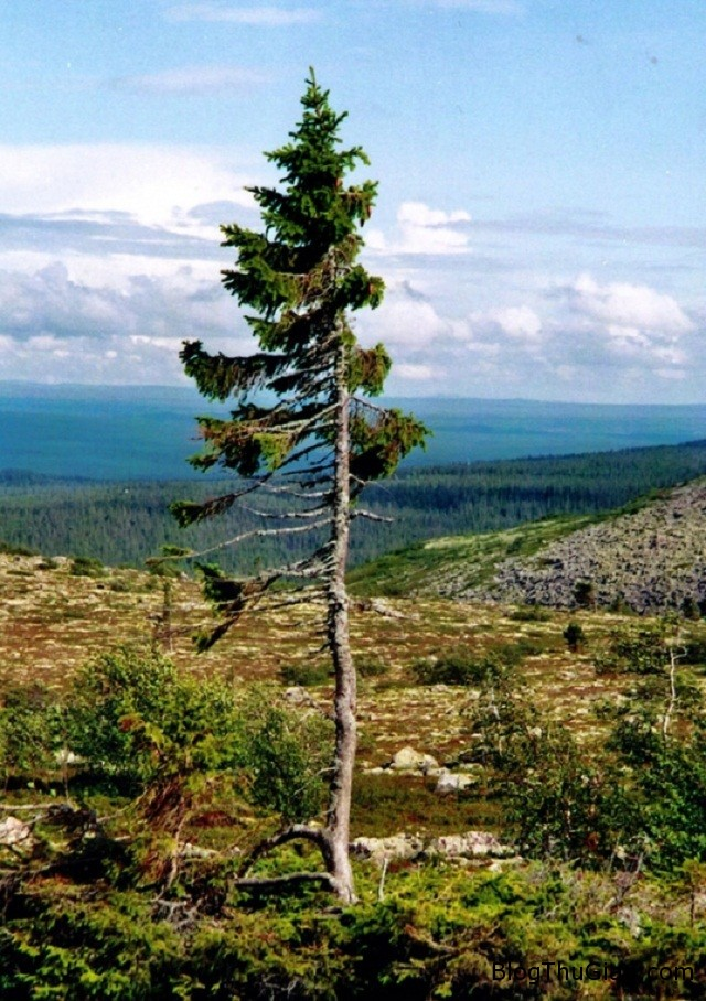 2275 Phát hiện loài cây sống lâu nhất thế giới đã tồn tại 9550 năm