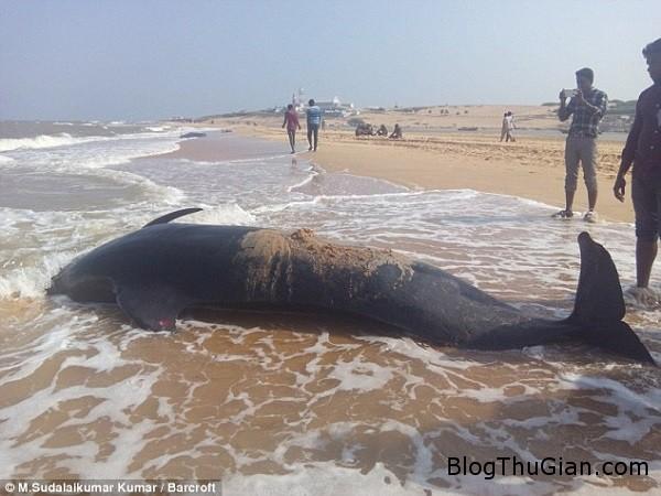 bi an ve vu tu sat hang loat cua ca voi an do 08192aa399 Kỳ lạ hàng loạt con cá voi tự sát tập thể