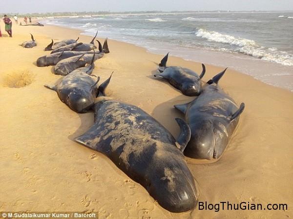 bi an ve vu tu sat hang loat cua ca voi an do 80304f93c8 Kỳ lạ hàng loạt con cá voi tự sát tập thể