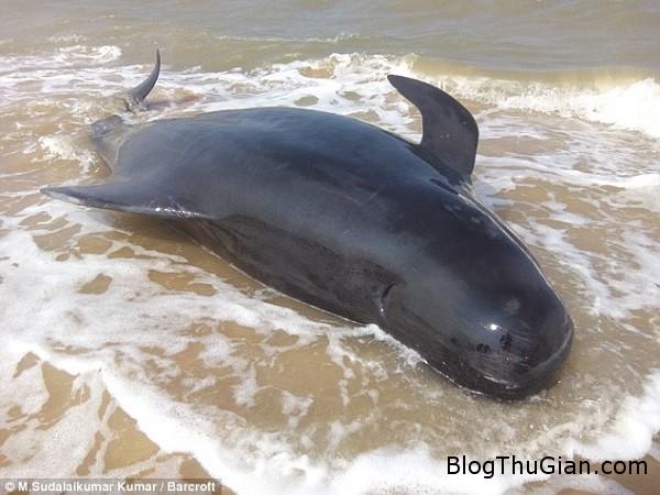 bi an ve vu tu sat hang loat cua ca voi an do aa45677458 Kỳ lạ hàng loạt con cá voi tự sát tập thể