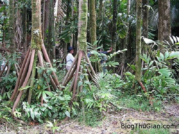 caybietdi Cận cảnh loài cây duy nhất có khả năng di chuyển