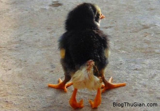 ga 4 chan Kỳ lạ gà mới nở có 4 chân ở Nghệ An
