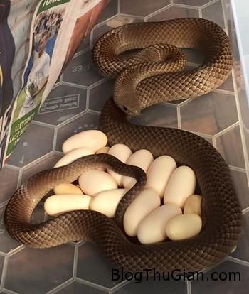 kinh hai phat hien ran doc dang ap trung duoi tu lanh trong nha bep Phát hiện rắn cực độc đẻ và ấp trứng dưới chân tủ lạnh