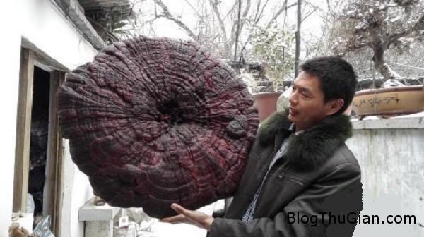 11127 Phát hiện cây nấm linh chi khổng lồ có đường kính gần 1m