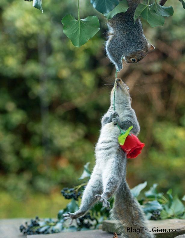 1455377455 1455357105 soc valentine3 Hình ảnh cặp đôi sóc lãng mạn trong lễ tình nhân gây sốt