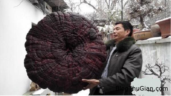 2375 Phát hiện cây nấm linh chi khổng lồ có đường kính gần 1m