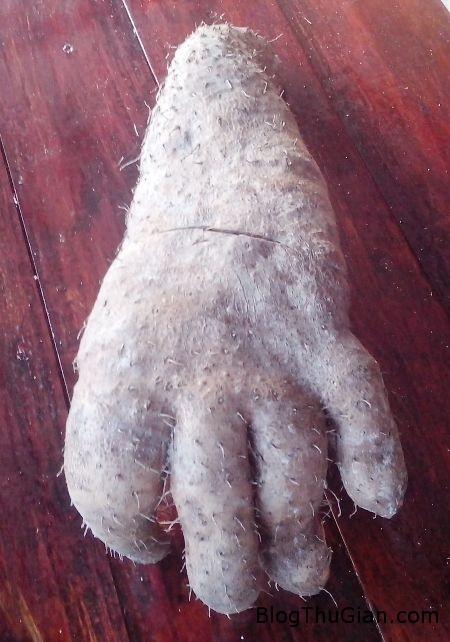 IMG 20150321 065716 b6ee1 Sốc với củ khoai từ có hình dáng như bàn tay người