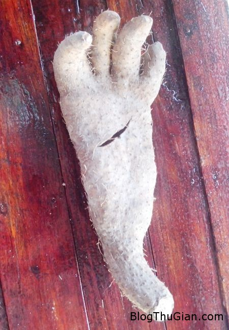IMG 20150321 065733 372ec1 Sốc với củ khoai từ có hình dáng như bàn tay người