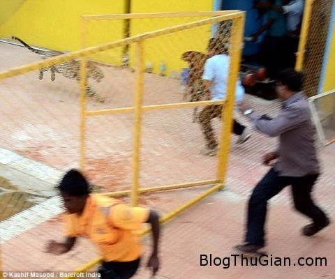bao dom song chuong lac vao truong hoc tan cong nguoi 161024605 Báo đốm sổng chuồng làm nhiều người bị thương