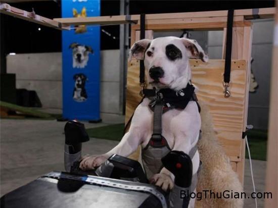 cho cung co the lai may bay nhu con nguoi 1 Chương trình truyền hình đào tạo phi công chó
