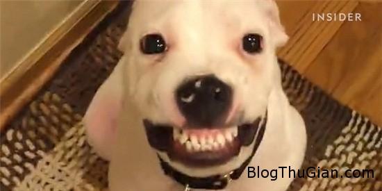 chu cho dang yeu nhe rang cuoi hon nhien khi duoc an pho mat 1 Chú chó luôn nhe răng cười đáng yêu mỗi khi đòi ăn pho mát