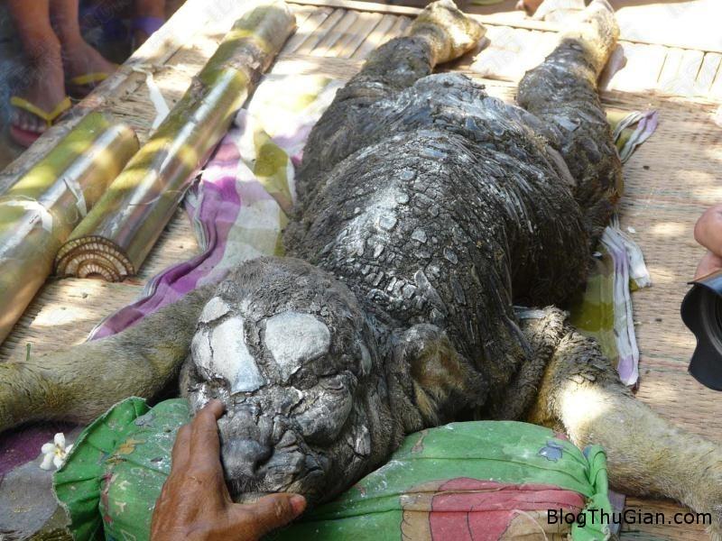 chuyen la the gioi ca sau dau trau Phát hiện quái thú cá sấu mình trâu kỳ lạ ở Thái Lan