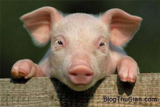 con lon ky la sinh ra voi 2 tinh hoan tren dau thay cho mat 2 Chú lợn sinh ra với hai tinh hoàn thay vì mắt