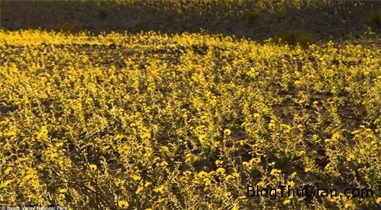 muon hoa dua no bat thuong tai thung lung chet 2 Các loài hoa bất ngờ nở rộ cực hiếm tại thung lũng Chết