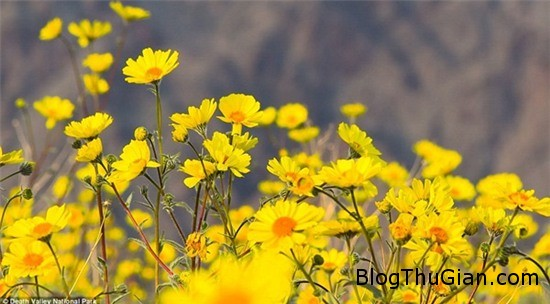muon hoa dua no bat thuong tai thung lung chet 6 Các loài hoa bất ngờ nở rộ cực hiếm tại thung lũng Chết