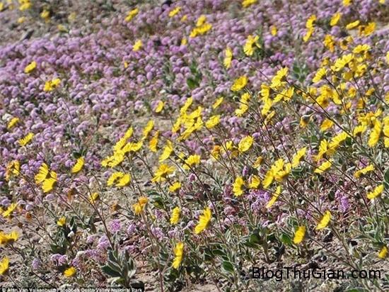 muon hoa dua no bat thuong tai thung lung chet 8 Các loài hoa bất ngờ nở rộ cực hiếm tại thung lũng Chết