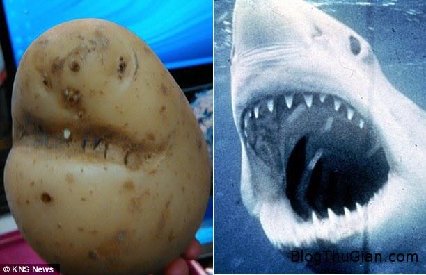 1456388932 1456374399 a1 Củ khoai tây hàm cá mập đặc biệt