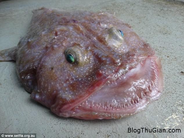 1456740899 1456740093 anh1 Phát hiện loài cá biển kỳ dị có miệng rộng và răng sắc nhọn ở Úc